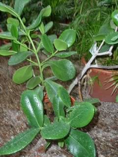 Quelle est cette plante [Clusia (peut-être C rosea] Crassu10