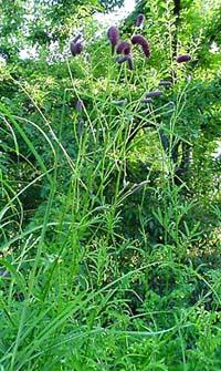 je cherche un plant de Sanguisorba tenuifolia Sangui11