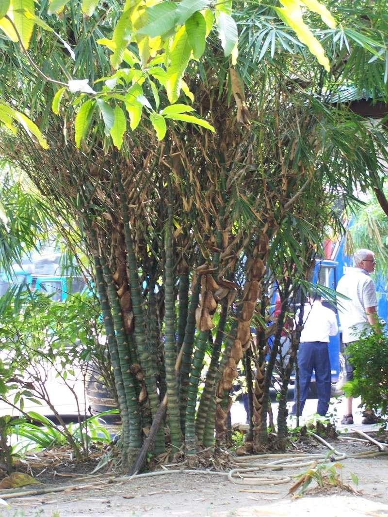 Bambusa tuldoides ventricosa 100_8011