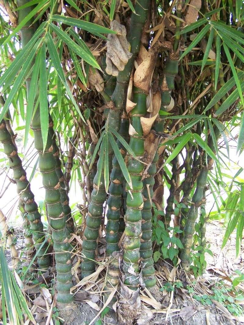 Bambusa tuldoides ventricosa 100_8012