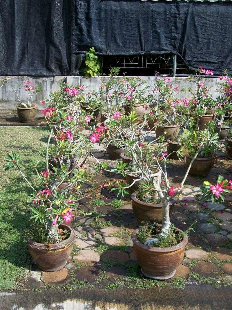 Adeniums en Thaïlande 100_8310