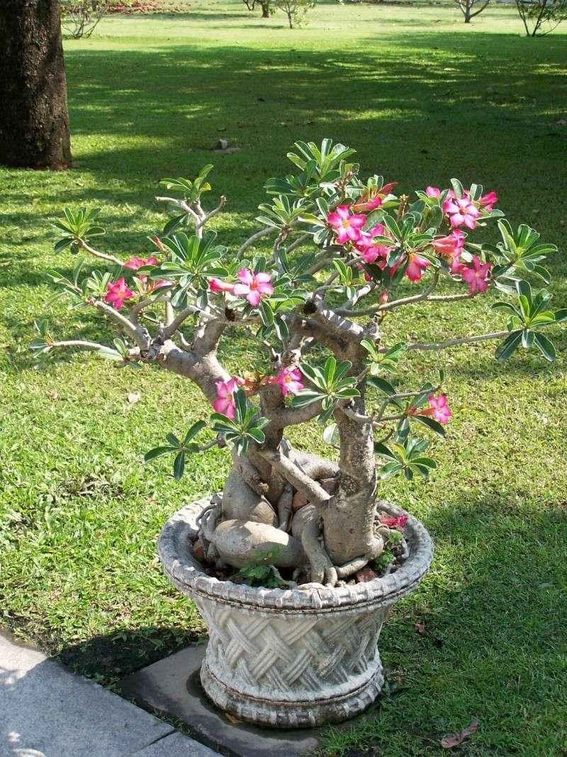 Adeniums en Thaïlande 100_8311