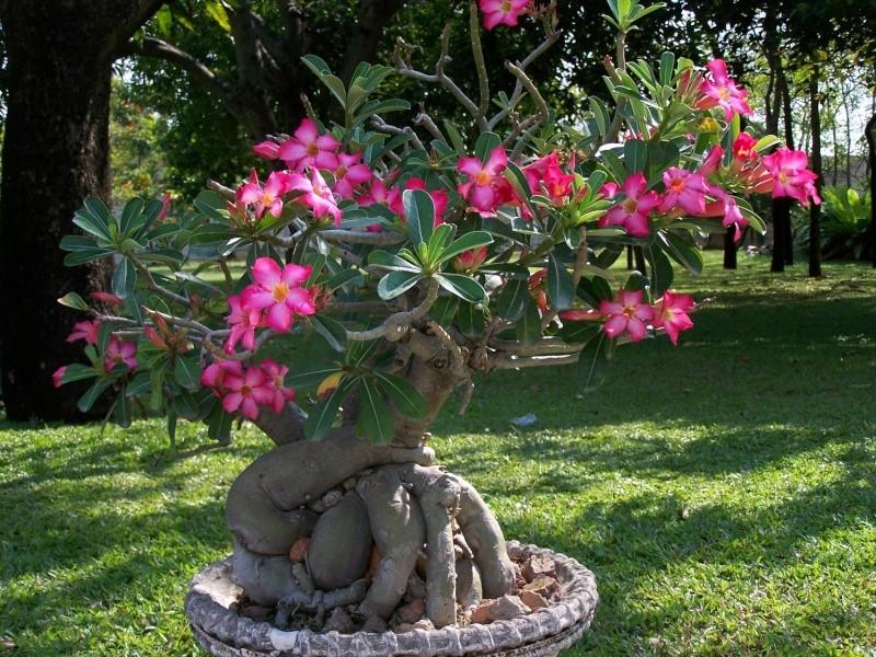 Adeniums en Thaïlande 100_8315