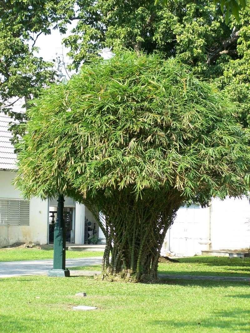 Bambusa tuldoides ventricosa 100_8323