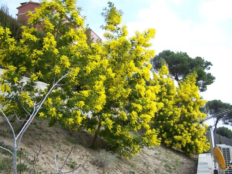 mimosa Aa_01010