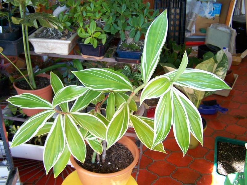 Costus arabicus 'Variegata' ou Costus amazonicus Aaa_0112