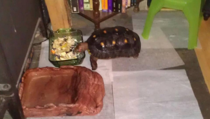 Tortsy the watch turtle  99576910