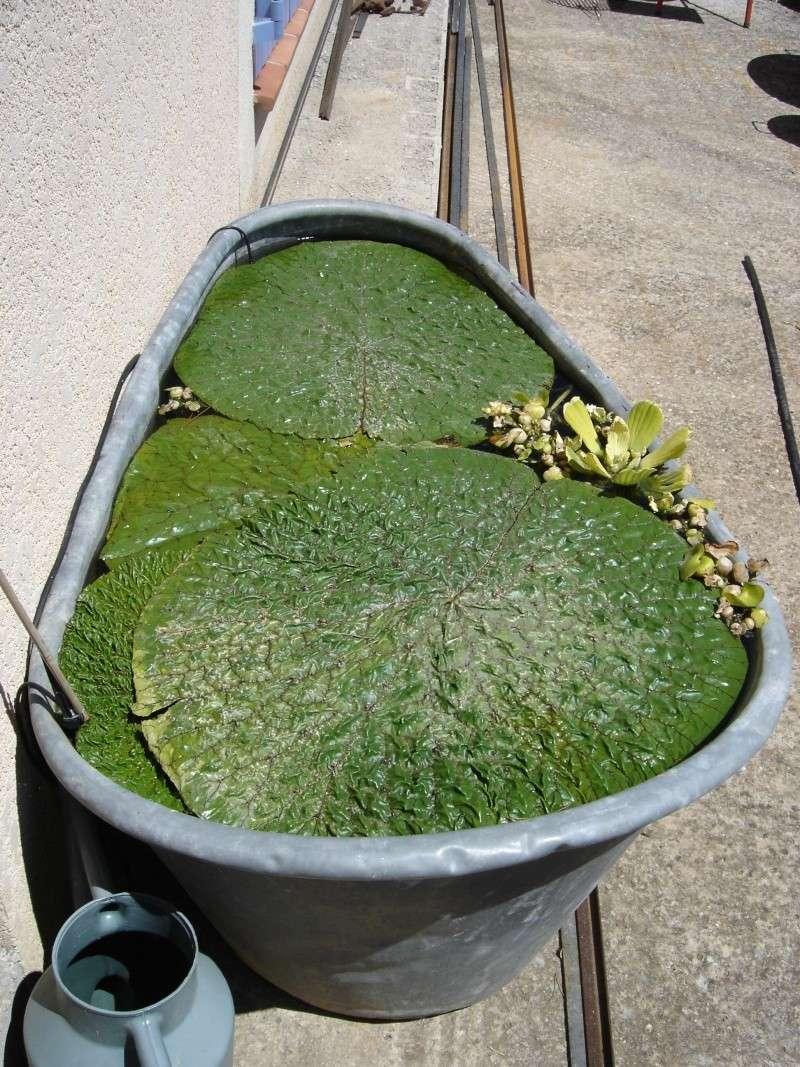 Victoria cruziana et Euryale ferox pas si difficile Dsc01110