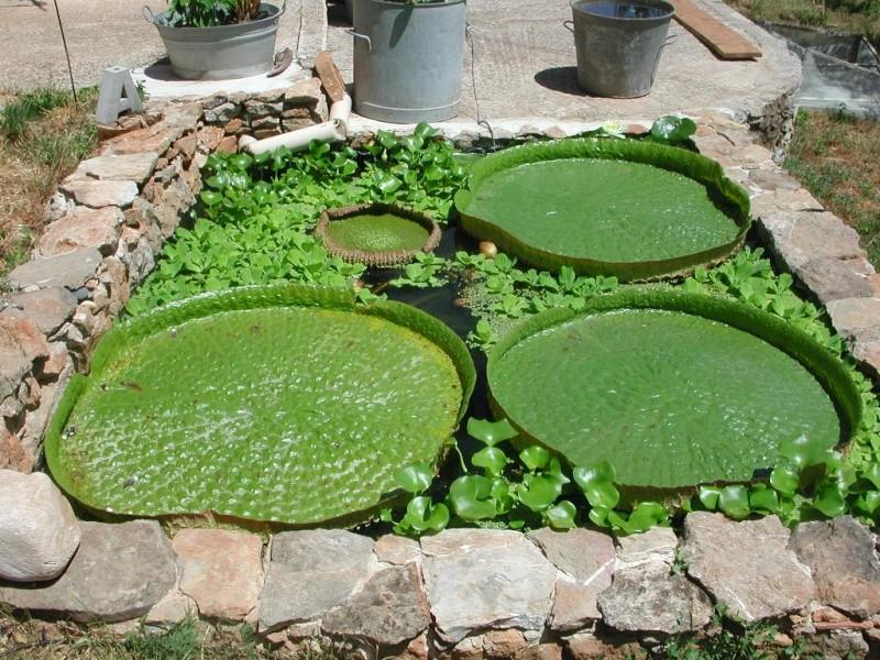 Victoria cruziana et Euryale ferox pas si difficile Dscn1410