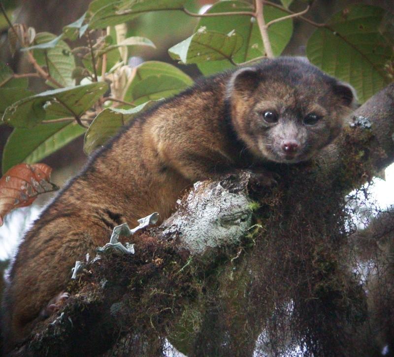 L'olinguito, un nouveau mammifère carnivore découvert dans les Andes 92356110