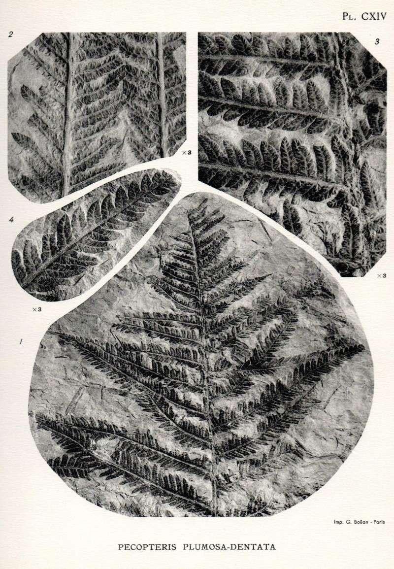 Pecopteris (Brongniart ) , Sternberg 1825. Carte110