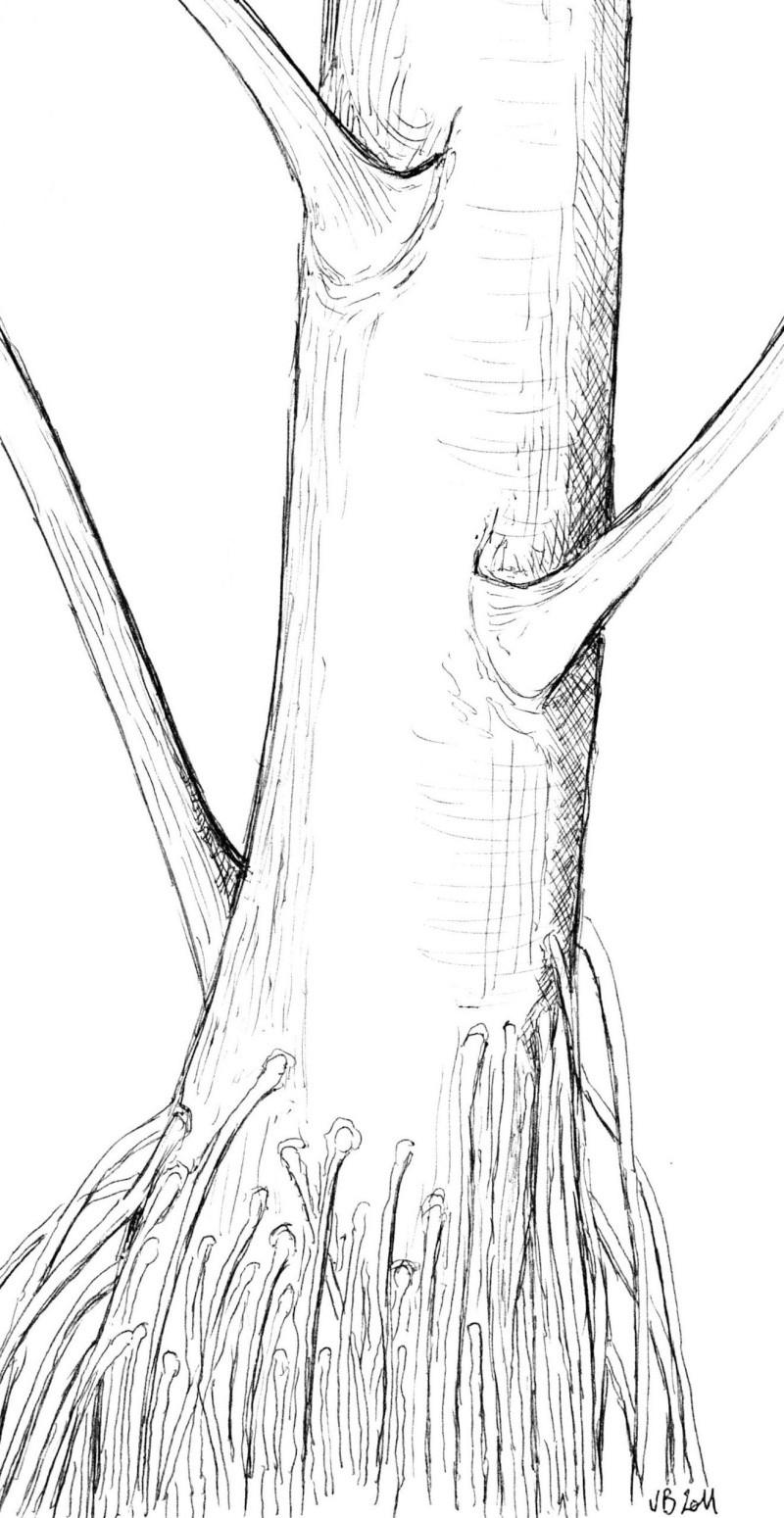 Neuropteris ovata Hoffmann . Cyclopteris Brongniart , 1830.  Img50210