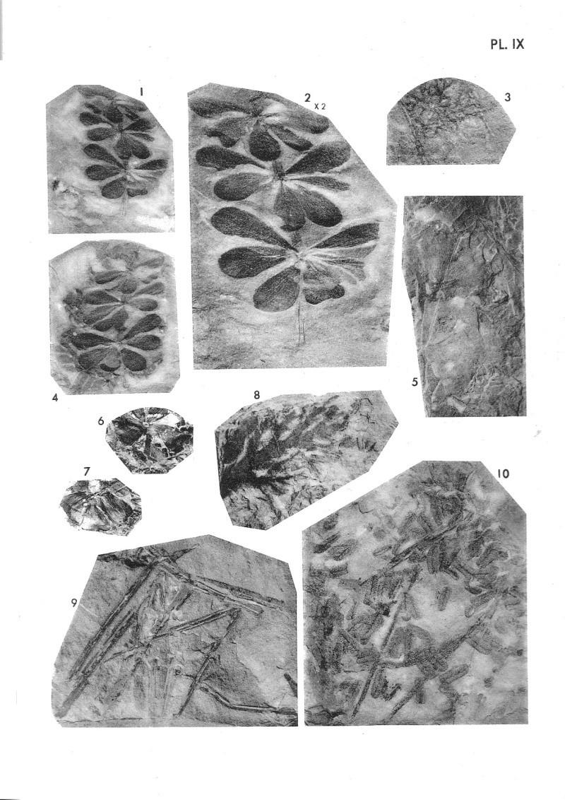 Calamites Schlotheim ,1820.  Annularia sternberg , 1822 .  P_203_10