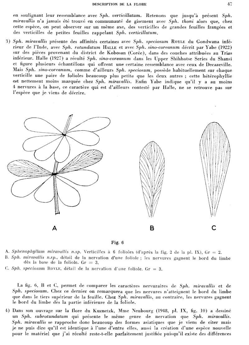 Calamites Schlotheim ,1820.  Annularia sternberg , 1822 .  P_47_l10