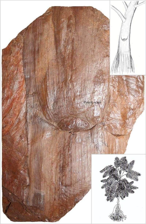 Neuropteris ovata Hoffmann . Cyclopteris Brongniart , 1830.  Pl_med10