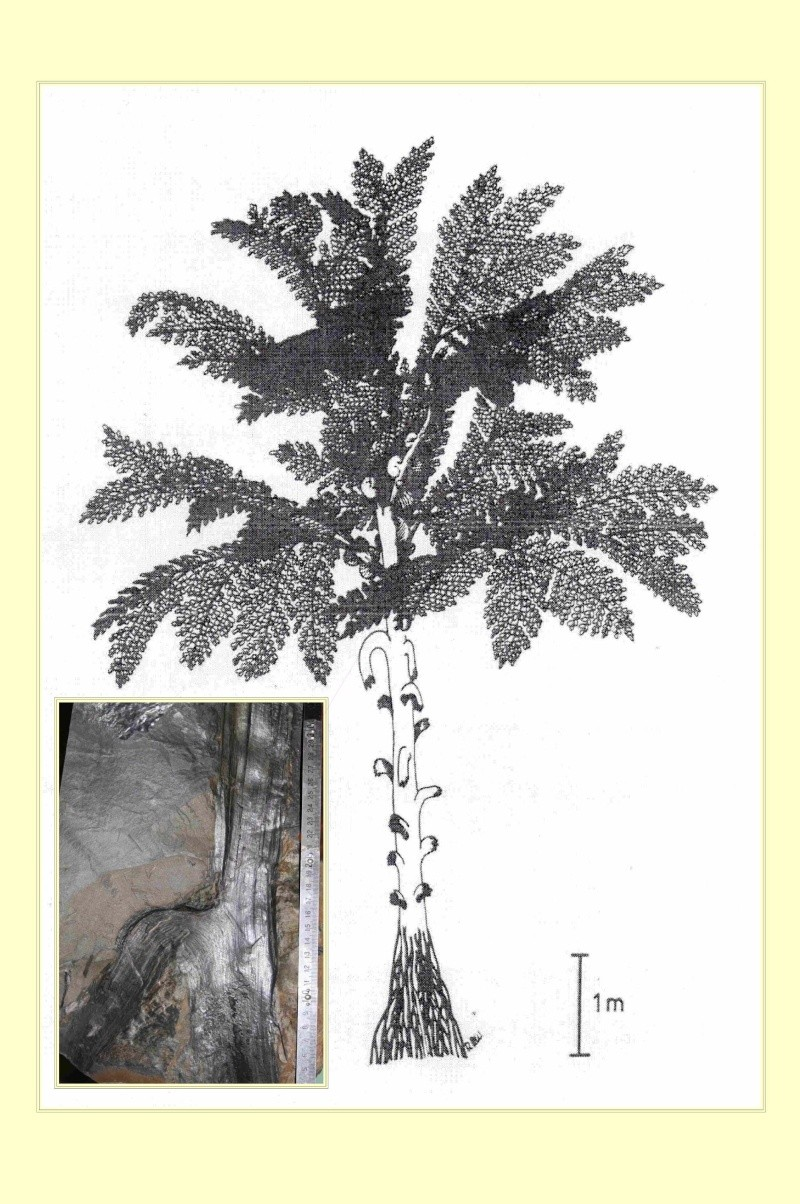 Neuropteris ovata Hoffmann . Cyclopteris Brongniart , 1830.  Pl_med11
