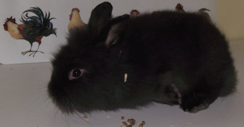 Y  a tu quelqu'un qui a des lapins angoras? Femell11