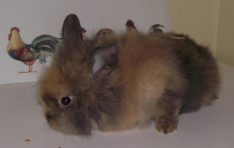 Y  a tu quelqu'un qui a des lapins angoras? Femell13