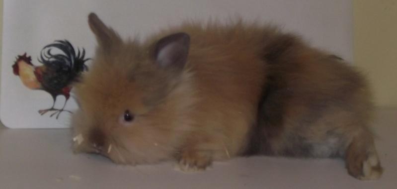 Y  a tu quelqu'un qui a des lapins angoras? Male1711