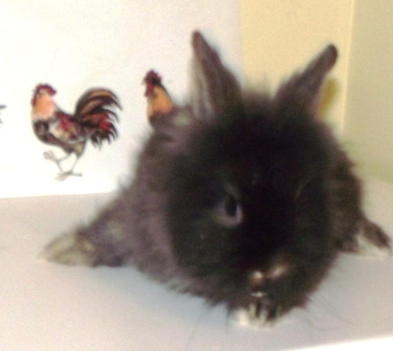 Y  a tu quelqu'un qui a des lapins angoras? Male1712