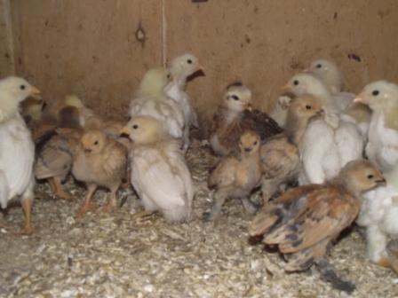 Vente de poussins (photo)MISE A JOUR Poussi10