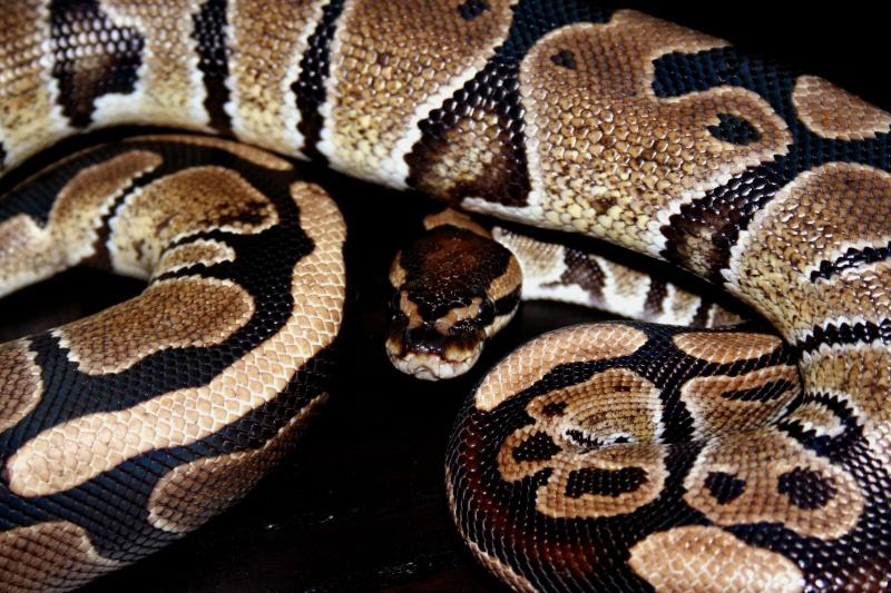python regius Img_3811