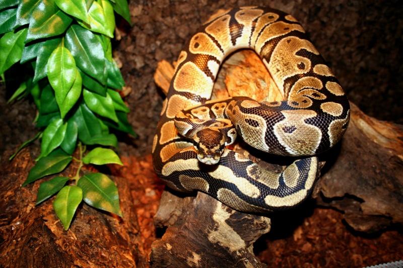 python regius Img_3812