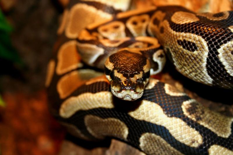 python regius Img_3813