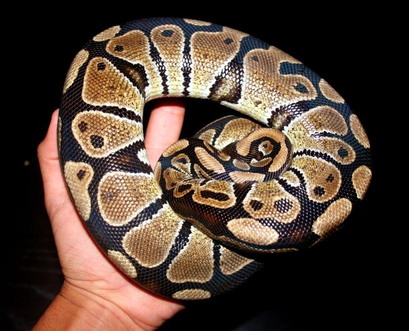 python regius Sans_t14