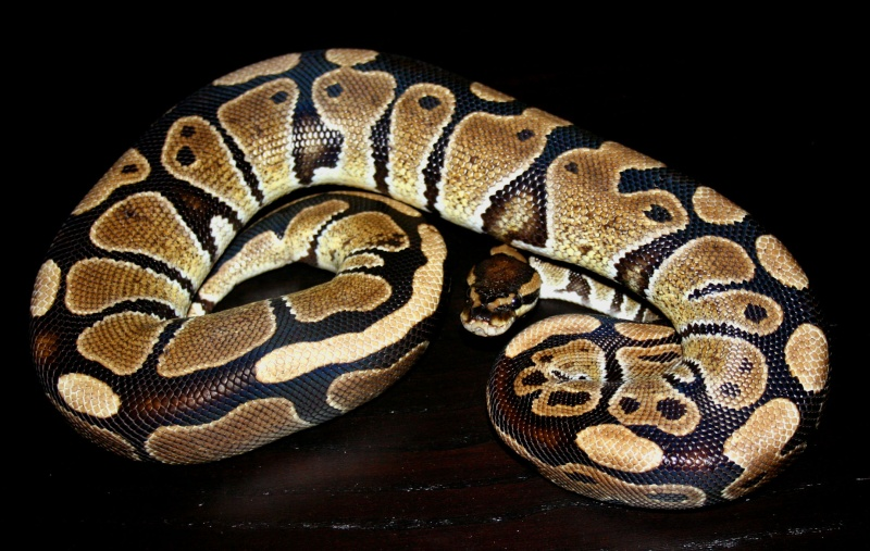 python regius Sans_t15