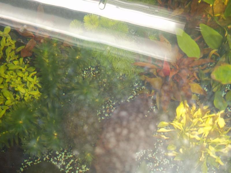 Nouveau Aquarium 130L et 60L spé crevettes 100_0610