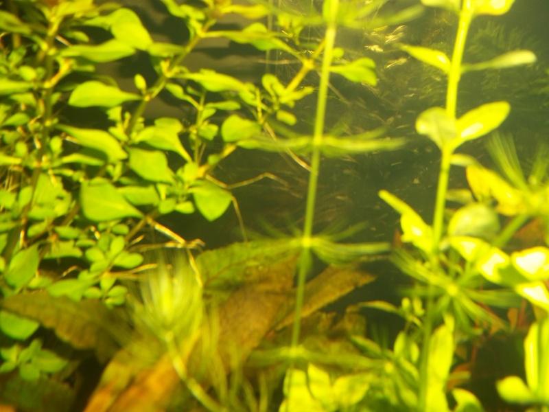 Nouveau Aquarium 130L et 60L spé crevettes 100_0614