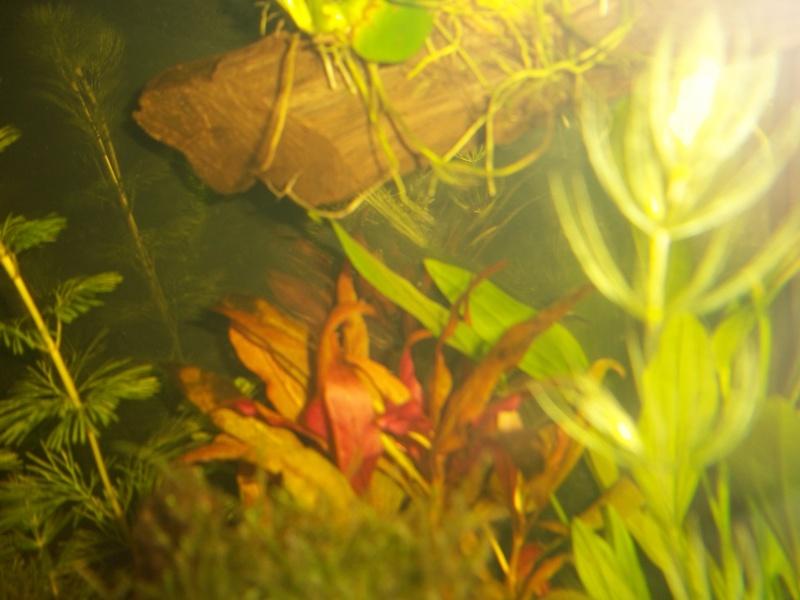 Nouveau Aquarium 130L et 60L spé crevettes 100_0615