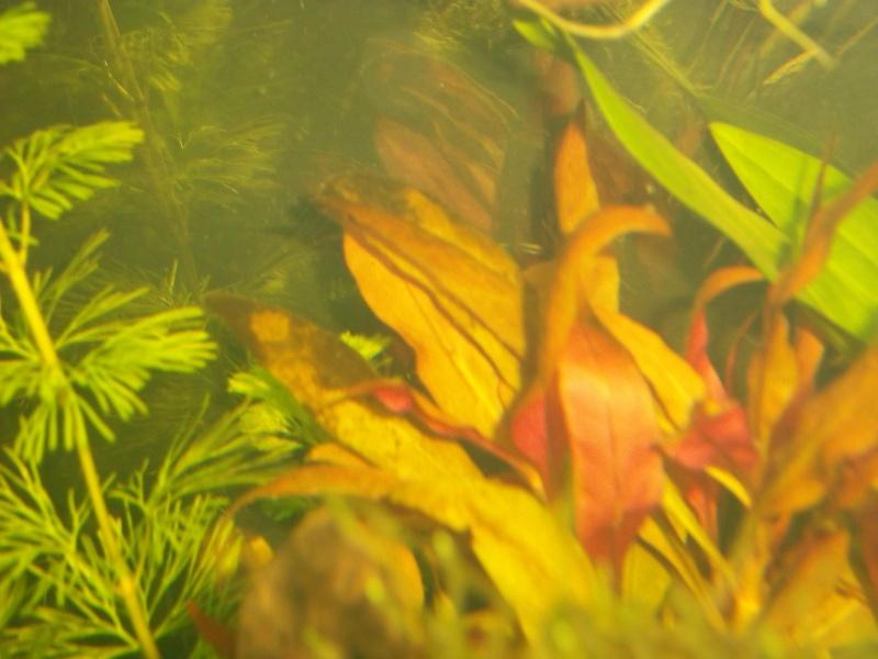 Nouveau Aquarium 130L et 60L spé crevettes 100_0616