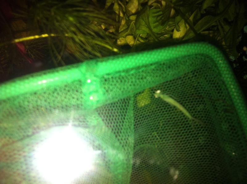 Nouveau Aquarium 130L et 60L spé crevettes Img_0112