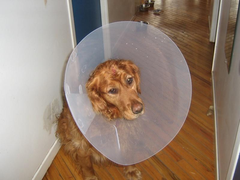 Voici ma chienne avec sa collerette   ( ce ne fut pas l'idée du siècle ) 04010