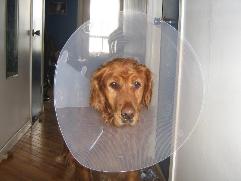 Voici ma chienne avec sa collerette   ( ce ne fut pas l'idée du siècle ) 04110
