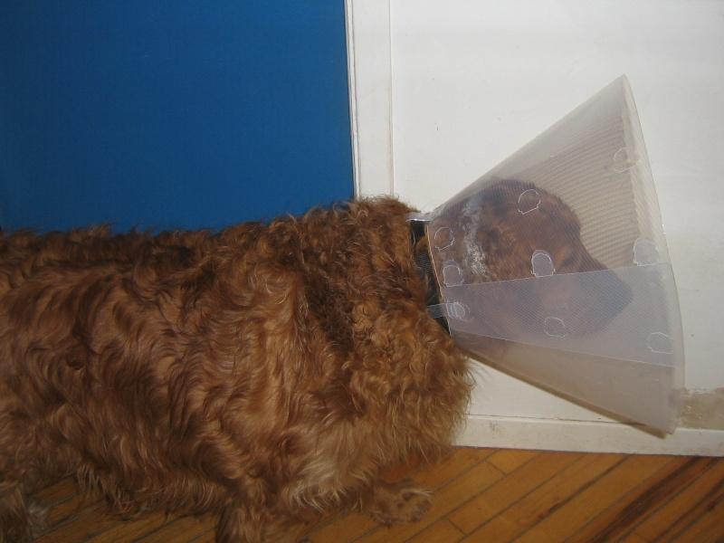Voici ma chienne avec sa collerette   ( ce ne fut pas l'idée du siècle ) 04210