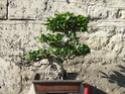 Ficus et tempèrature extèrieure entre 3° et 5° la nuit Dscf0312