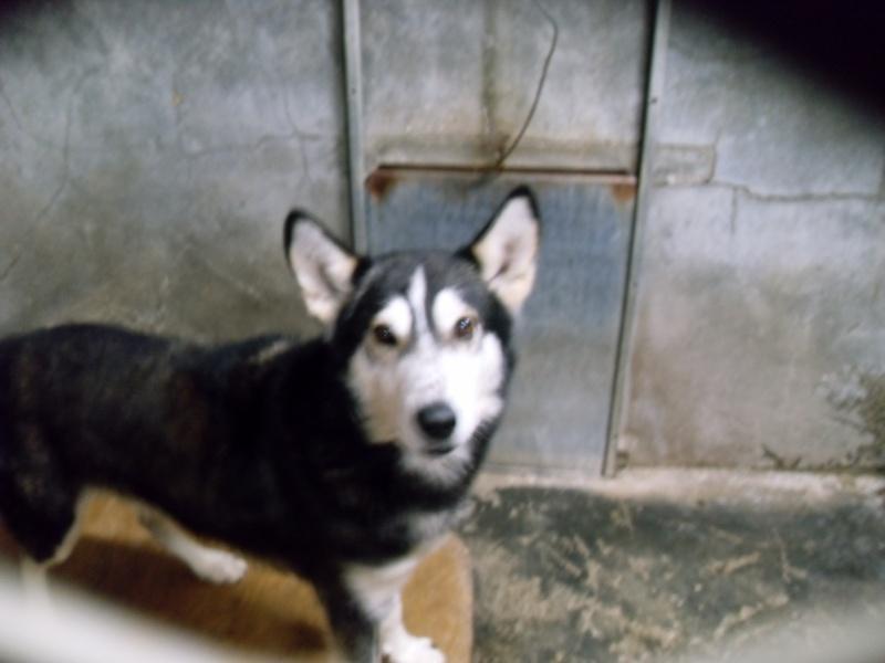 KISS affectueux husky/berger né en 2006 (62) ADOPTE Sdc10410