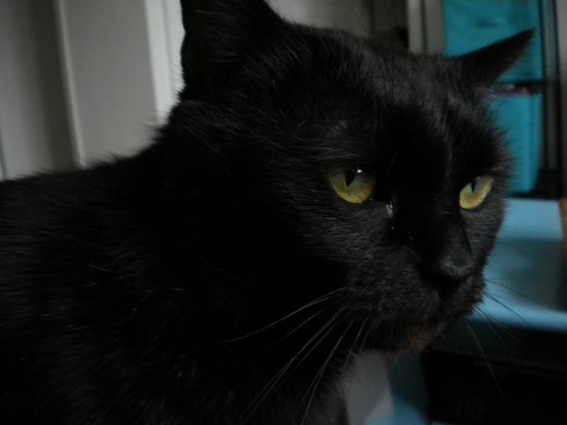 SOREN, 8 ans, câlinou FIV à adopter sans chat (27) Soren410