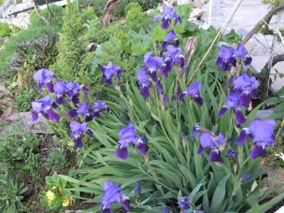 Le plantes de mon jardin. Iris11