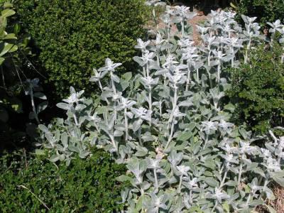 Le plantes de mon jardin. Sauge12