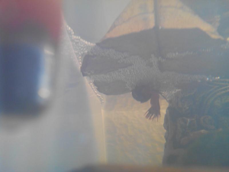 CT red x HS marbré bleu roi (femelle issus de chez canette) Img_2020