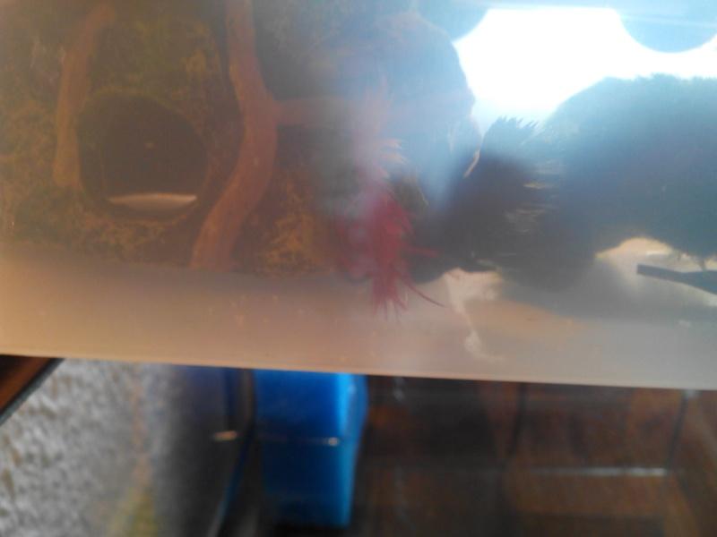 CT red x HS marbré bleu roi (femelle issus de chez canette) Img_2022