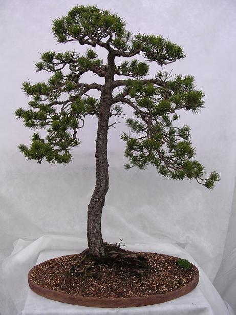 Jersey Bonsai Society Pinus_10