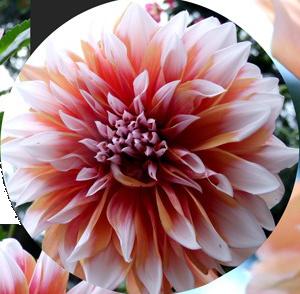 Un bouton de Dahlia prometteur... Dahlia10