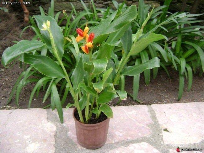 Quel est ce gingembre ? Hedychium (brachychilum) horsfieldii  Gbpix_10