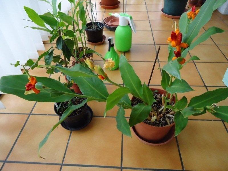 Quel est ce gingembre ? Hedychium (brachychilum) horsfieldii  Sans-t10