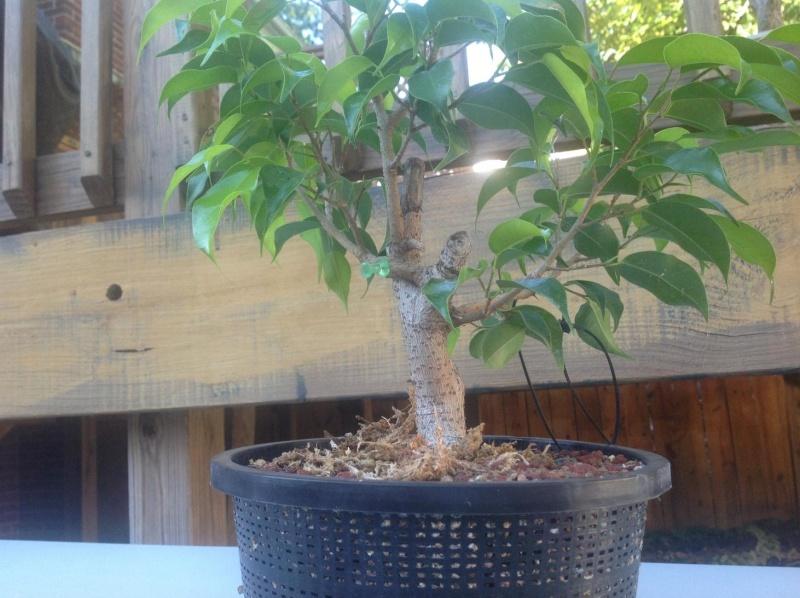 Ficus b. grafting q's Ficus210